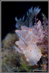 In my book this nudi is called Batangas halgerda a long n... by Yves Antoniazzo 